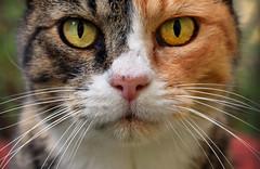 Jassarinne (Larah McElroy) Tags: photograph photography picture pictures larah mcelroy larahmcelroy animal animals cat cats kitten kittens kitty kitties feline felines calico