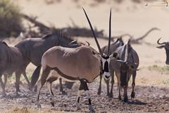 At a waterhole (dieLeuchtturms) Tags: 3x2 africa afrika antilopen antilopinae artiodactyla auob blauesgnu bovidae connochaetestaurinus gemsbok hippotragini hornträger ktp kalahari kgalagadi kgalagaditransfrontierpark oryx oryxantilope paarhufer pecora pferdeböcke ruminantia southafrica spiesbock stirnwaffenträger streifengnu säugetiere südafrika vertebrata vertebrates wiederkäuer wirbeltiere bluewildebeest brindledgnu commonwildebeest mammals whitebeardedwildebeest