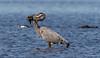 Hunting the hunter? (Gary McHale) Tags: great blue heron feeding alligator myakka river state park florida