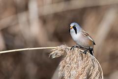 E' un gentleman molto compunto (120672) Tags: basettino torino falchera bird panurusbiarmicus
