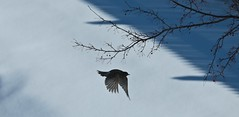 Snow Robin ~ The Robins' Visit (smilla4) Tags: bird robin flight silhouette fence shadow tree branch snow winter maine songbird zen