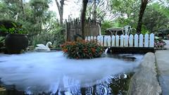 jinMOV_00012 天鵝 水面 池塘 水池 (侯錦鳳) Tags: 白天 金魚 倒影 紅色的花 天鵝 白色 水上 浪漫 煙霧 水面 池塘 水池