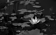 Lily (KittyKat3756) Tags: bogor botanical gardens indonesia kebun raya monochrome blackandwhite plants lily pond shadows light