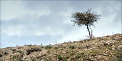 Lonely Tree (in Explore) (Bert Kaufmann) Tags: israel israël mountarbel arbel tiberias tree boom lonelytree nature natuur berg mount mountain landscape landschap rough ruig