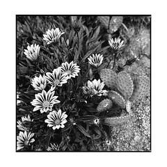 flowers • besalu, catalunya • 2016 (lem's) Tags: flowers fleurs besalu catalunya catalogne catalona spain espagne zenza bronica cactus
