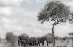 KRUGER (Francesc Farran) Tags: kruger sudafrica elefantes paquidermos