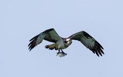 Osprey (steve waddingham Follow Me Follow You) Tags: bird prey raptor wild nature rutland water british roach nest