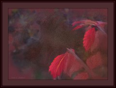 Burning Bush leaves (edenseekr) Tags: digitallypainted photopainting burningbush fallfoliage red leaves