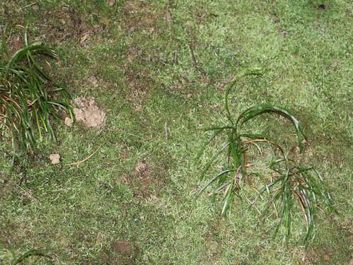 Grass Fern (Schizaea rupestris)