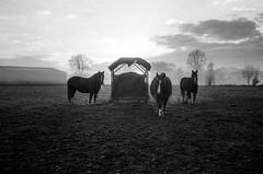 Tiercé. (renphotographie) Tags: analog film 35mm renphotographie olympusxa fomapan400 xtol chevaux tiercé lécousse noiretblanc contraste bw bnw argentique