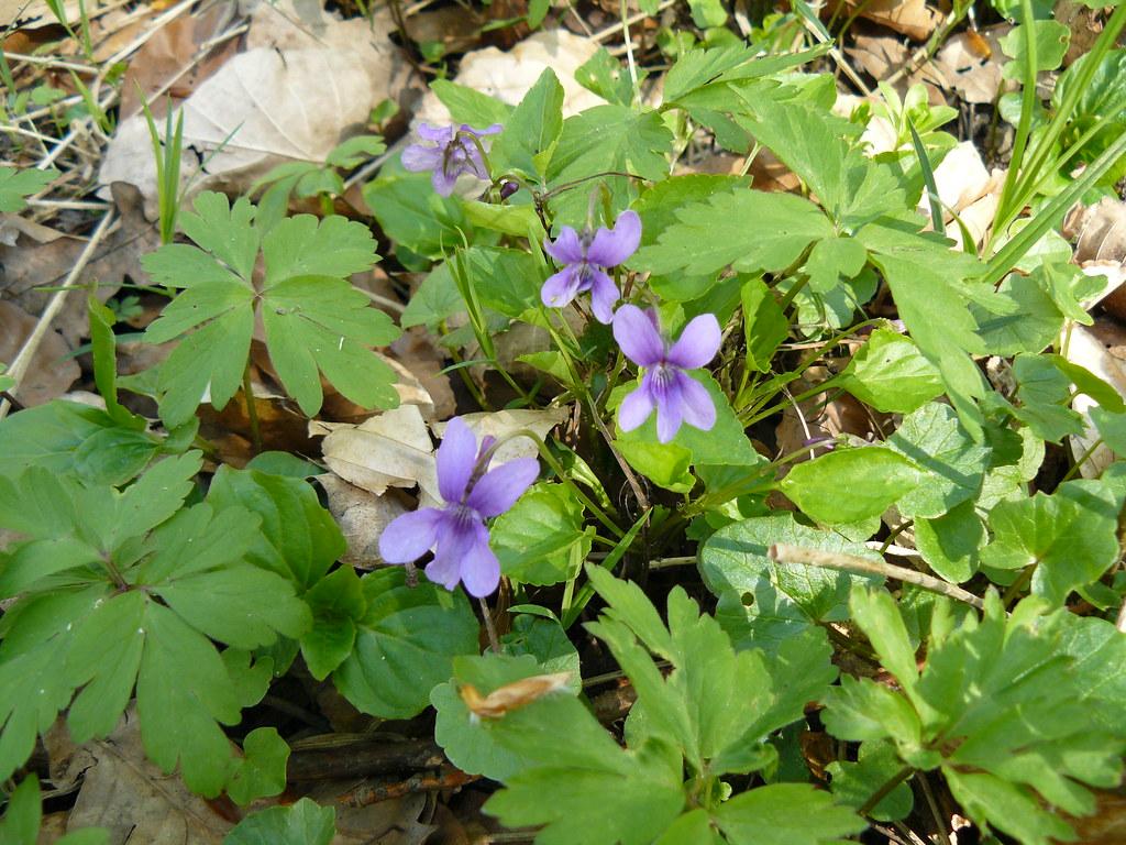 Viola reichenbachiana2