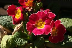 04-IMG_3405 (hemingwayfoto) Tags: balkon blühen blüte blume frühblüher garten gartenblume gewächs natur pflanze primel
