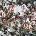 Guzet (Ariège/Pyrénées) (PierreG_09) Tags: montagne neige hiver ariège pyrénées pirineos couserans ustou auluslesbains houx ilexaquifolium
