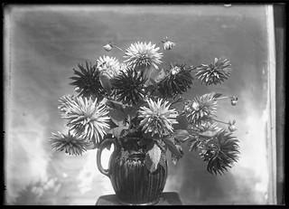 Antique glass negative - dahlias