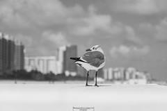 Aware (Mariano Colombotto) Tags: seagull miami south beach vacations florida usa unitedstatesofamerica bnw blackwhite blancoynegro bird city clouds nubes vacaciones nikon infinitexposure autofocus platinumheartaward