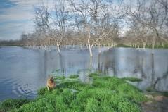 (Sharon Hahn Darlin) Tags: orovilledam sacramentovalley happydoggie floodedorchard walnuttrees