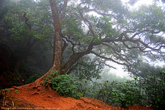 LONELY TREE IN THE MIST (GOPAN G. NAIR [ GOPS Photography ]) Tags: mist tree green forest photography alone deep jungle western lonely ghat gops gopan gopsorg gopangnair gopsphotography