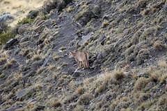 Puma having a last look (Paul Cottis) Tags: chile patagonia mammal bigcat april puma cougar mountainlion 2015 paulcottis