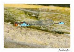 Erythromma viridulum ♂ (Adria Miralles) Tags: dragonfly catalonia catalunya damselfly odonata banyoles erythromma viridulum