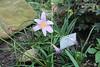 "Zephyranthes carinata - Botanischer Garten Berlin • <a style=""font-size:0.8em;"" href=""http://www.flickr.com/photos/25397586@N00/19741689926/"" target=""_blank"">View on Flickr</a>"