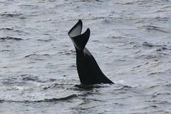 Tika K33 inverted tail slap (SanJuanOrcas) Tags: ocean sea wild island san juan wildlife killer whale orca cetacean