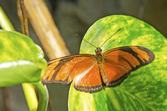 Orange butterfly (elinay76) Tags: vienna wien animal butterfly insect orangebutterfly butterflyhouse dryasiulia juliabutterfly orangedryasiulia