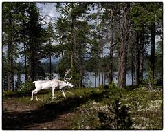 Wite Reindeer #2 (Krogen) Tags: summer norway norge sommer norwegen krogen reinsdyr hedmark femunden engerdal olympuse400