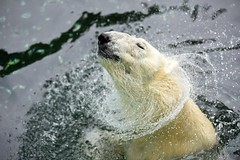 Polar bear (floridapfe) Tags: bear water animal zoo korea arctic polarbear polar splash everland