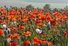 poppies_1033 (micheltennisfan) Tags: poppiesfield