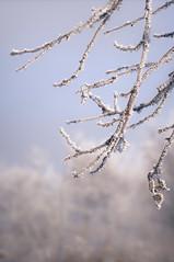 DSC_3781 (gabriella.hafner) Tags: januar macro cold hungary zúzmara tél winter hideg nature