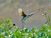 Hop, skip and a jump. (S.J. Trinidad & Tobago Nature) Tags: wattledjacana nature birds action jumping neotropic jacana ngc