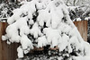 Pine caked with snow (nikname) Tags: snow snowydays snowybranches snowytrees trees winter wintertrees citystreets