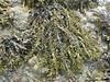 Gwymon codog bras - Ascophyllum nodosum (Gwylan) Tags: gwymon codog bras foryd carnarfon alga algae seaweed wrack cymru arfordir traeth morol môr seashore wales rockpool marine wildlife ascophyllumnodosum gwymoncodogbras
