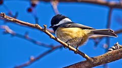 Chick-A-Dee (Bob's Digital Eye) Tags: animal bird bobsdigitaleye canon canonefs55250mmf456isstm chickadee depthoffield flicker flickr nature outdoor t3i wildbird wildlife
