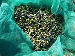 recogida de aceitunas (jinete veton) Tags: aceituna olivo aceite vareo curandero recogidadelaaceituna olivar