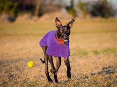 Bonnie (Idlefrog Photo) Tags: bonnie olympus40150 purple dog lurcher olympusomdem1mkii olympusomdem1mki tennisball fetch