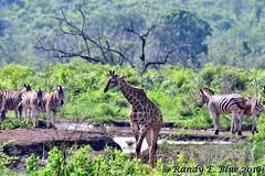 Hluhluwe-Imfolozi 023 (REBlue) Tags: southafrica kwazulunatalprovince hluhluweimfolozipark burchellszebra giraffe