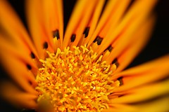 oomph (Potent2020) Tags: rose blackbackground a yellowflower flower blossom blooming orange closeup macro