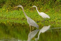 Fishing buddies (ChicagoBob46) Tags: greategret greatblueheron egret heron bird florida nature wildlife veniceareaaudubonrookery rookery