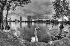 Good side please (tshabazzphotography) Tags: swan lakeeola downtownorlando downtown florida orlando urbanpark lake nature wildlife cypresstrees skyline cityscape blackandwhite bw contrast hdr hrlovers hdrphotography bwhdr clouds cloudporn cloudlovers detail fisheye rokinon 8mm f35 fisheyephotograph canon canonphotography