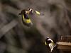 BN3A2315 (rachel.peillet) Tags: oiseau animaux chardonneret oiseaux europeangoldfinch bird flying envol