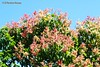 Mulato, San Salvador, El Salvador (ssspnnn) Tags: planta arbol arvore flor elsalvador sansalvador triplarismelaenodendron polygonaceae spnunes nunes snunes spereiranunes canoneos70d tree floweringtree triplaris