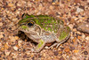 Striped Burrowing Frog (Litoria alboguttata) (JLoyacano) Tags: australia frog jacobloyacano stripedburrowingfroglitoriaalboguttata toad amphibian brigalow burrowingfrog litoria litoriaalboguttata queensland