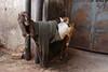 The Independent Empirical Evidence for Global Warming (Mayank Austen Soofi) Tags: delhi walla goat the independent empirical evidence for global warming