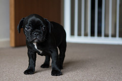The sad french bulldog puppy (Hayley Newton) Tags: puppy puppies cute black frenchbulldog bulldog french pet home sad blackandwhite dog shiny nikon d300s