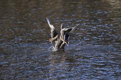 So fresh ! (carlo612001) Tags: bird birds ducks duck