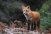 Fall Fox (Megan Lorenz) Tags: autumn fall redfox fox animal mammal nature wild wildlife wildanimals algonquinprovincialpark ontario mlorenz meganlorenz canada