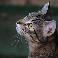 What's Up ? (AnyMotion) Tags: nelli garden garten mondayface portrait porträt porträtaufnahmen pet cat cats katze katzen animals tiere 2016 anymotion tabby getigert atigrada félin chat gata 7d2 canoneos7dmarkii square 1600x1600