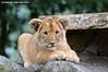 African lion cub - Olmense Zoo (Mandenno photography) Tags: dierenpark dierentuin dieren animal animals african cub cat belgium belgie bigcat big olmense olmensezoo olmen balen