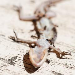 last clutch (Leonard J Matthews) Tags: gecko lizard last cutch ants life death australia mythoto final grasp reach hand